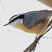 248A1413 red breasted nuthatch