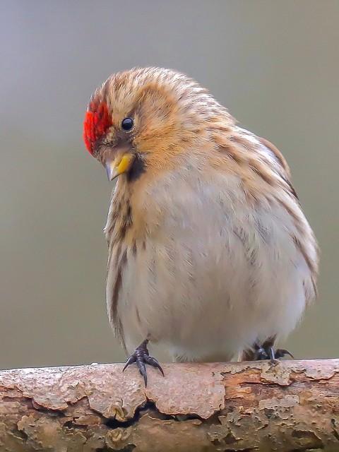 Redpoll