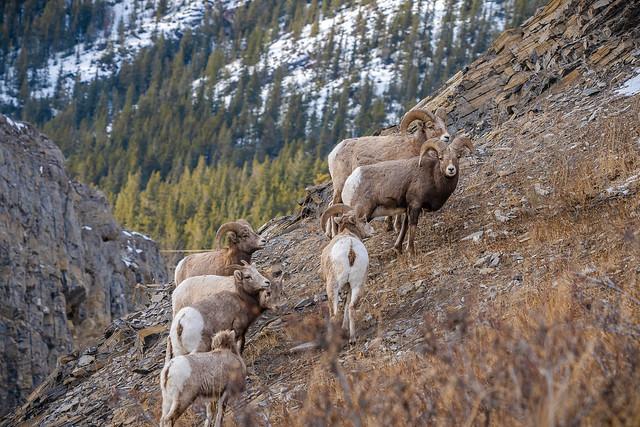Big Horn Sheep - Ovis canadensis canadensis