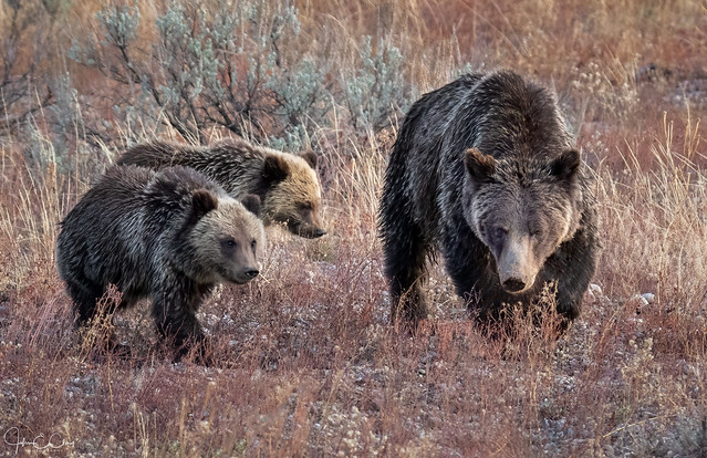 Grizzly 399 -Queen of the Tetons