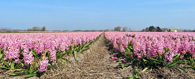 Bulb field hyacinths