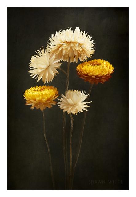 Helichrysum Still Life