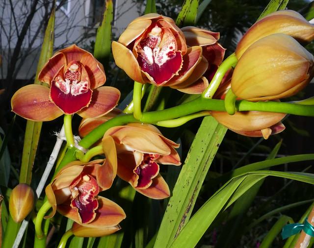 Cymbidium Legendary Karen hybrid orchid 12-20