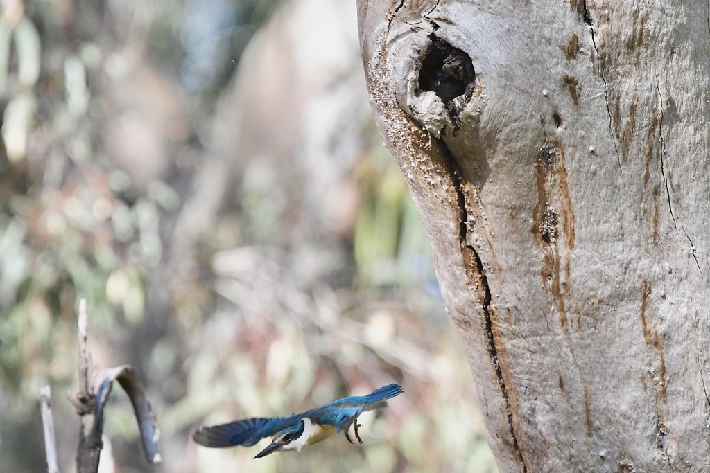 Sacred Kingfisher ( been busy keeping this Secret )