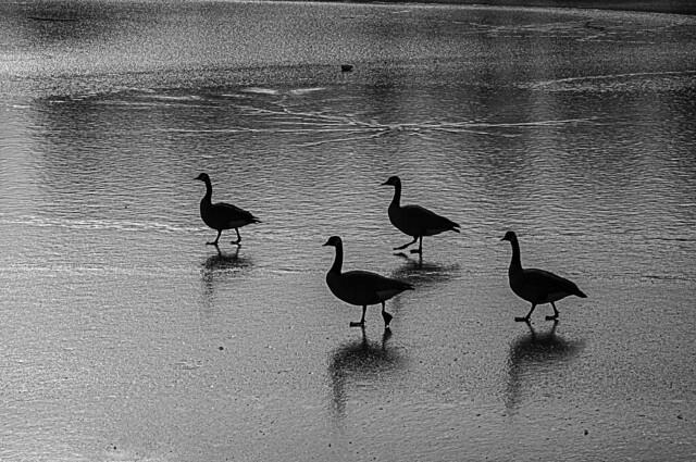 Geese Walking on Lake Ice