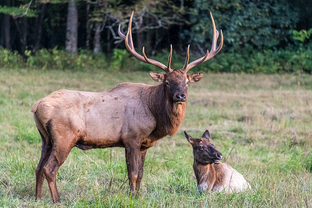 Bull elk with its cow