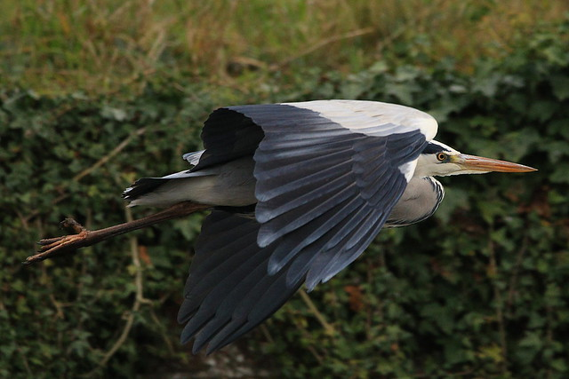 Heron at Fort Brockhurst, Gosport