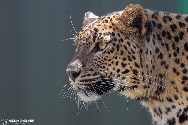 Sri Lanka Leopard - Mondo Verde Landgraaf - The Netherlands