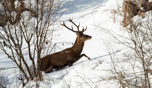 Pas facile de courir dans la neige !