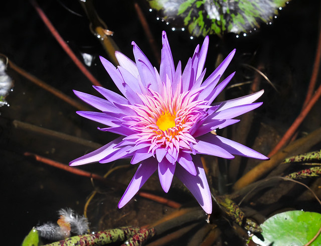Another Water Lily - Kauai Hawaii