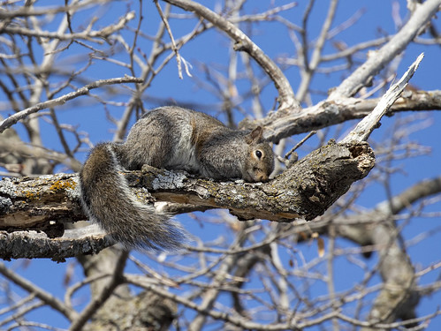 Squirrel sleeping in the tree