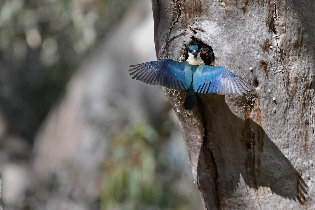 Sacred Kingfisher ( this will keep you both happy )