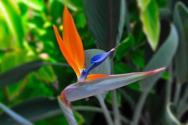 Bird of Paridise - Kauai Hawaii