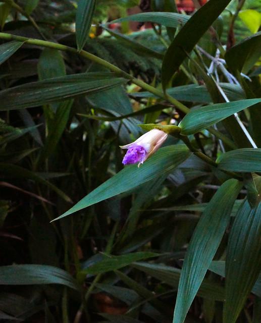 Sobralia Veitchii primary hybrid orchid 12-20