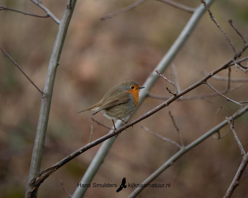 roodborstje (Erithacus rubecula)-850_1480