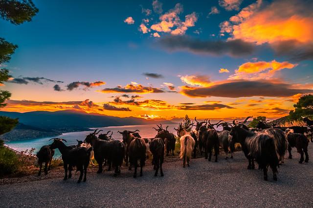 Goats enjoying the sunset view