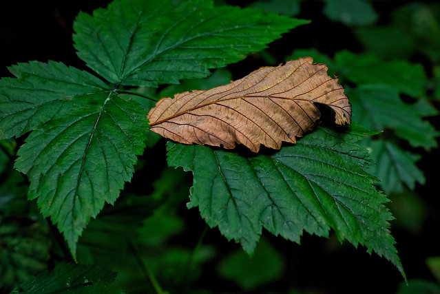 Leaf Study, Coastal BC