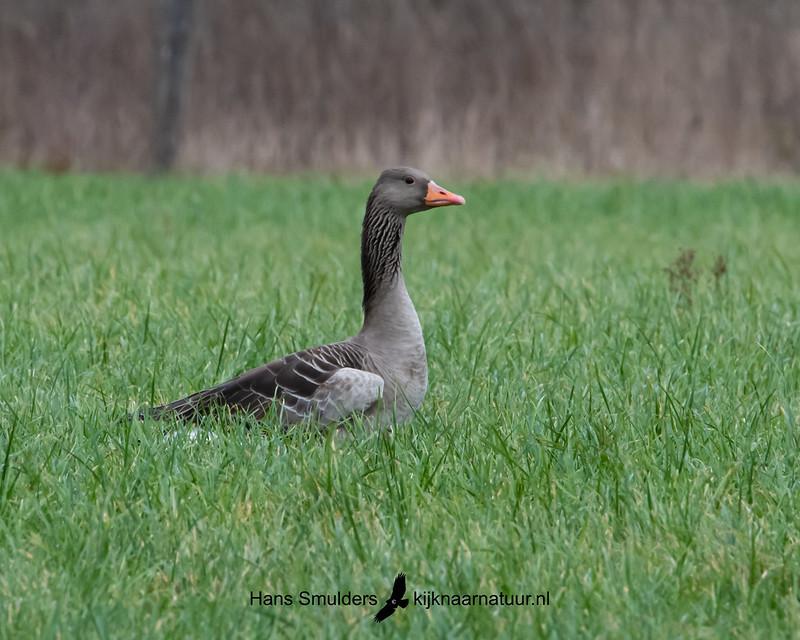 grauwe gans (Anser anser)-850_1485
