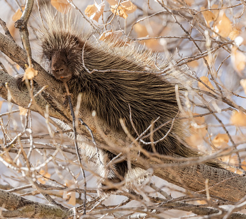 porcupine_in_tree-20210114-113
