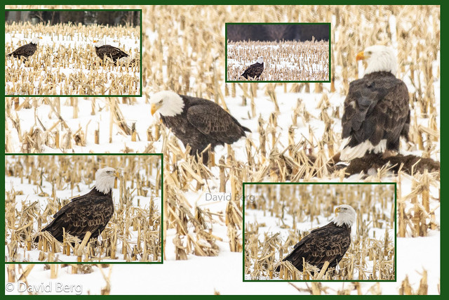 Bald Eagles Sharing a Meal