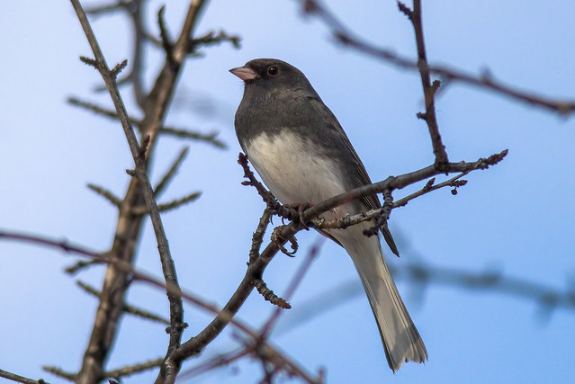 Dark-eyed Junco | Junco hyemalis