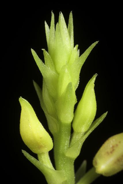 Plocoglottis plicata fma. punctatus (Roxb.) Ormerod, Orchids of Sumatra: 293 (2001)