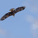 juvenile_bald_eagle_in_flight-20210114-139