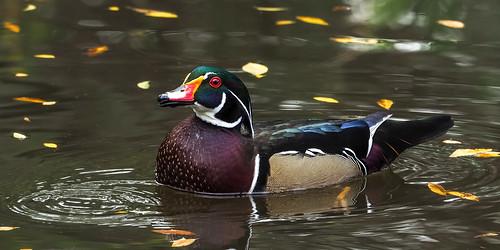 Wood Duck !