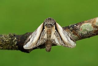 71.017 Swallow Prominent (Pheosia tremula), Burntisland, Fife