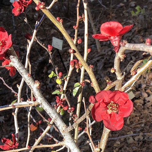 Chinese Flowering Quince