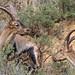cabra montés ♂ (Capra pyrenaica)