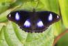 The Great Eggfly ♂ - ผีเสื้อปีกไข่ใหญ่
