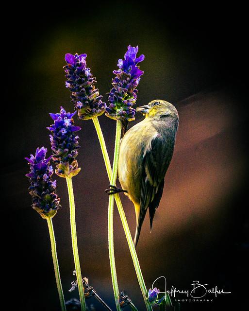 Finch feeding on lavender-941096