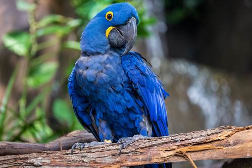 Hyacinth Macaw Looking Around
