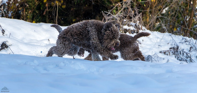 Bisons? No, Lagotto Romagnolo Dogs ❅