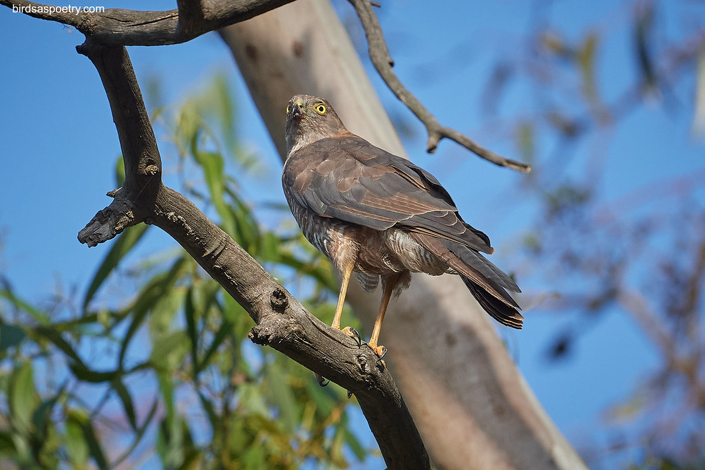 Collared Sparrowhawk: Scanners on Full Alert