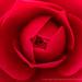 Romany Camellia, 3.28.17