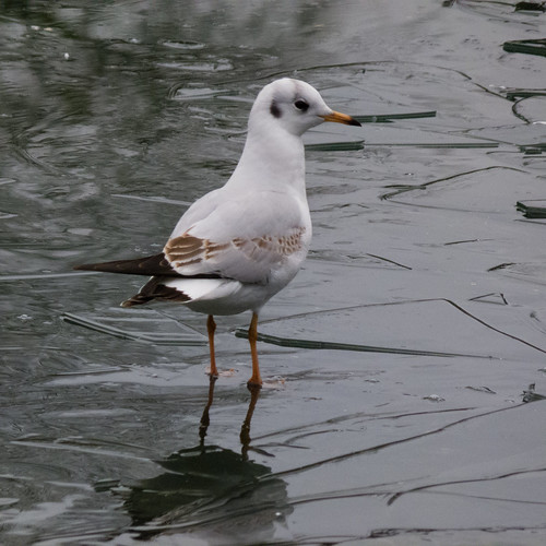 Thin ice, pensive gull