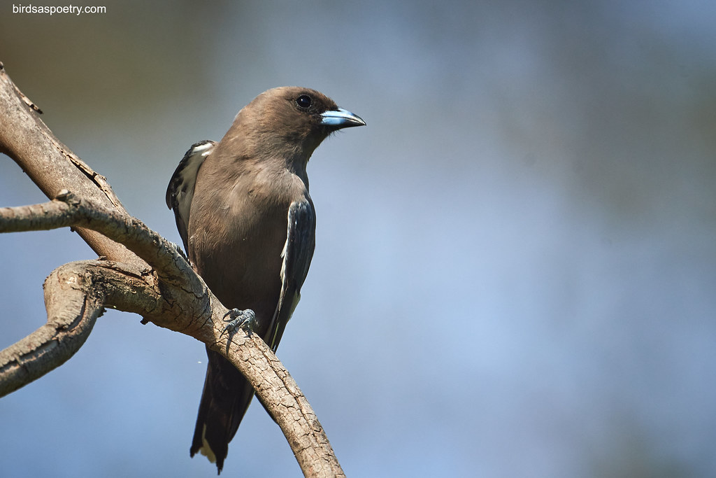 Dusky Woodswallow: Committed to Fly