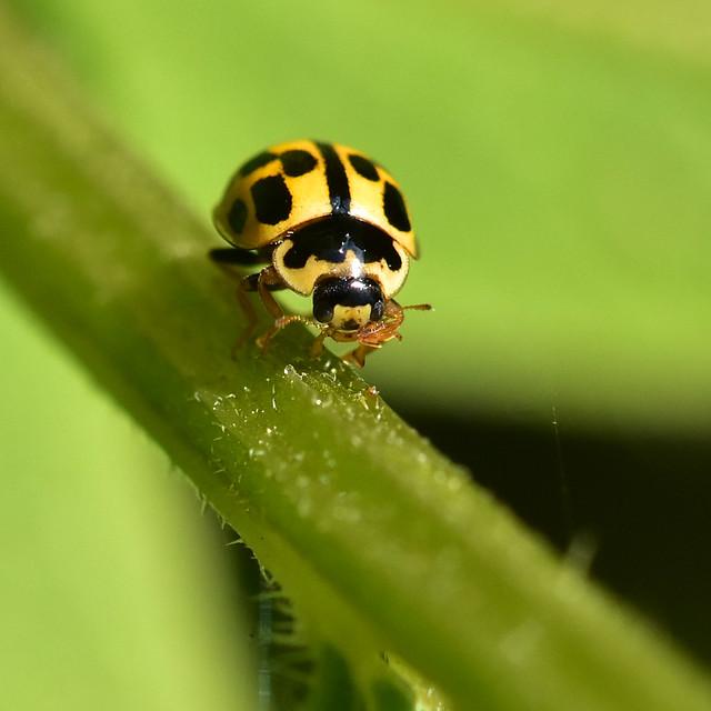 Propylea 14-punctata ... Fourteen-spot Ladybird