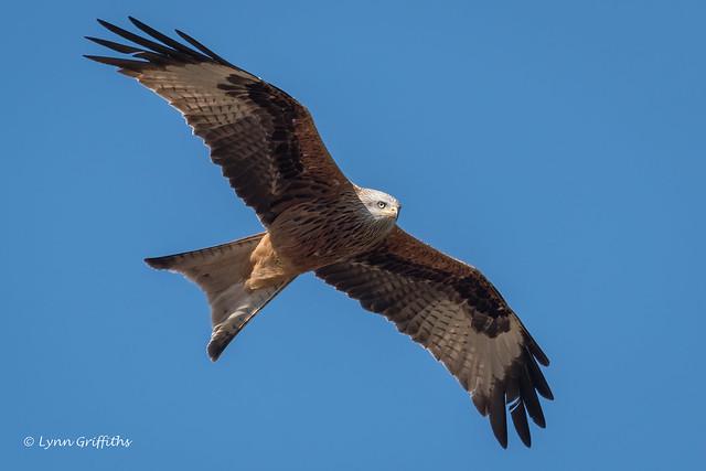 Red Kite 502_6379.jpg