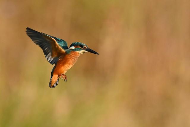 Martin pêcheur , ( Alcedo atthis ) Kingfisher