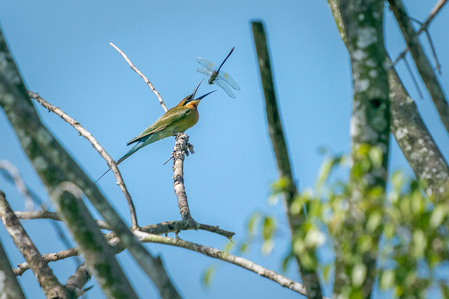 Tossing the Emperor Dragonfly