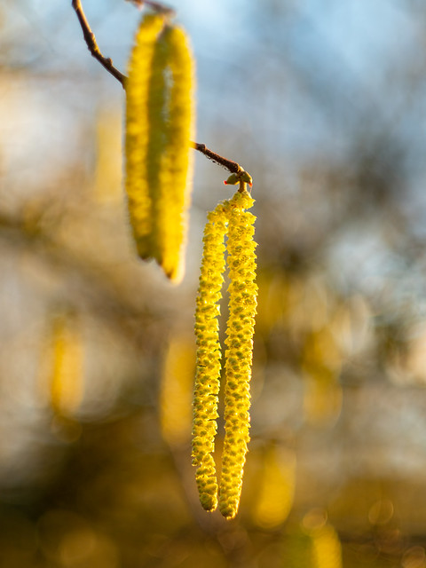 Hazel catkins in sunset light