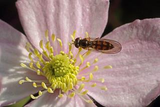 Melanostoma scalare, Burntisland, Fife