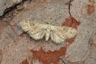 70.166 Plain Pug (Eupithecia simpliciata), St Margarets Marsh, Fife