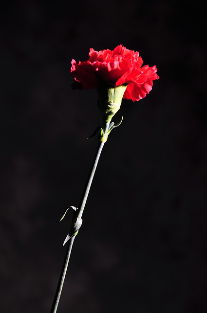 DSC_0185 Red Carnation Flower dark red denote deep love and affection. Shoreditch Studio London