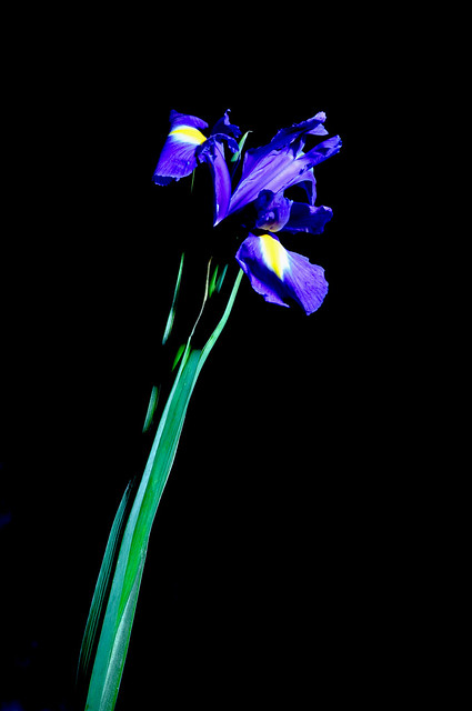 DSC_0206a Iris Flower Meaning: A True Beauty to the Human Eye Shoreditch Studio London