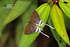The Common Imperial ♀ - ผีเสื้อขาวหางริ้ว