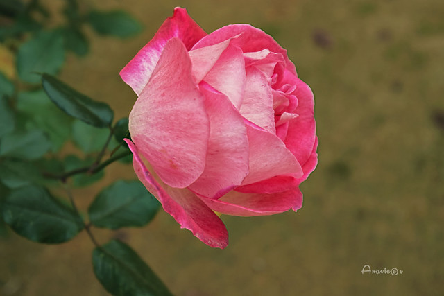 15_Rosa invernal